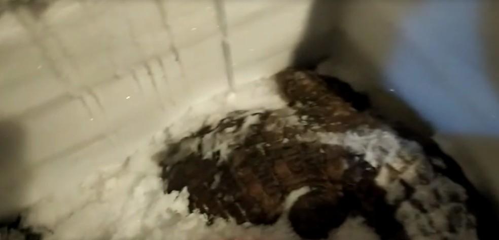Jacaré também foi encontrado dentro de freezer em Santa Isabel — Foto: Reprodução/TV Diário