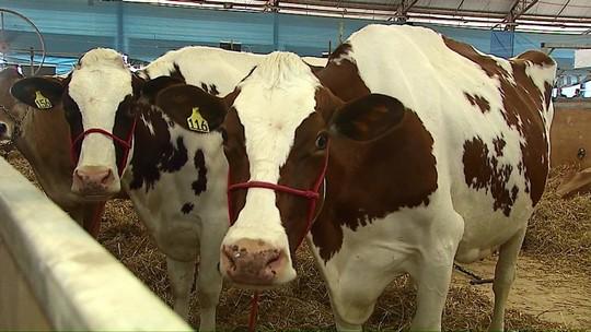 Vacas paranaenses chegam a produzir três vezes acima da média nacional