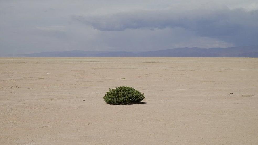 O 'cauchi' é uma das poucas plantas na área que pode suportar condições extremas porque absorve sal do subsolo (Foto: BBC)