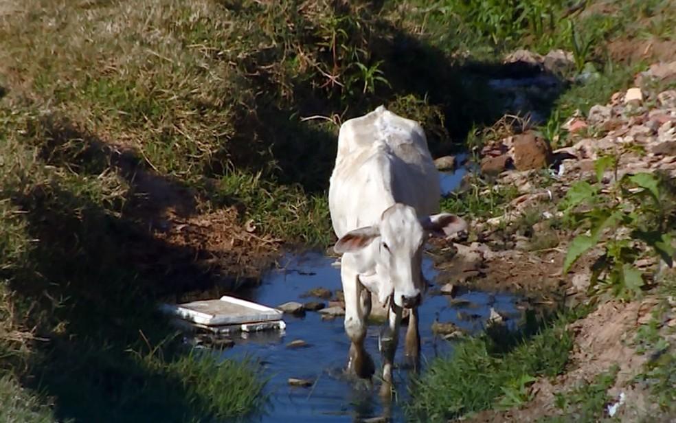 Vaca dentro de córrego que passa no Jardim Satélite I (Foto: Reprodução/EPTV)