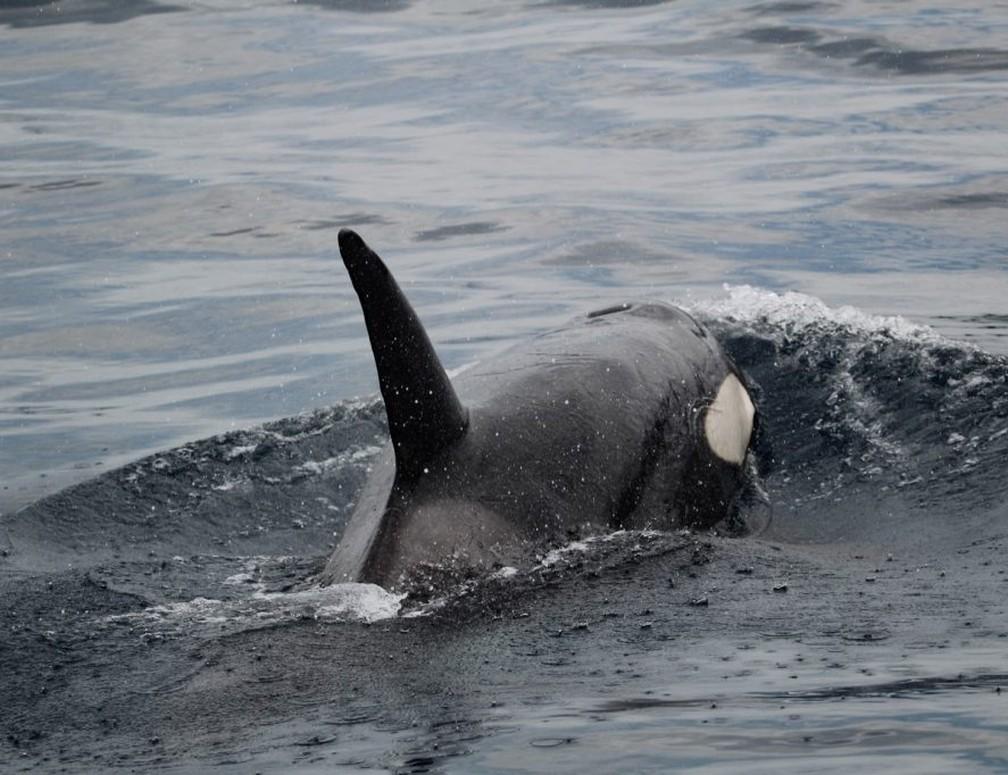 Grupo de orcas é avistado em Ilhabela — Foto: Manuel da Cruz Albaladejo /Instituto Argonauta