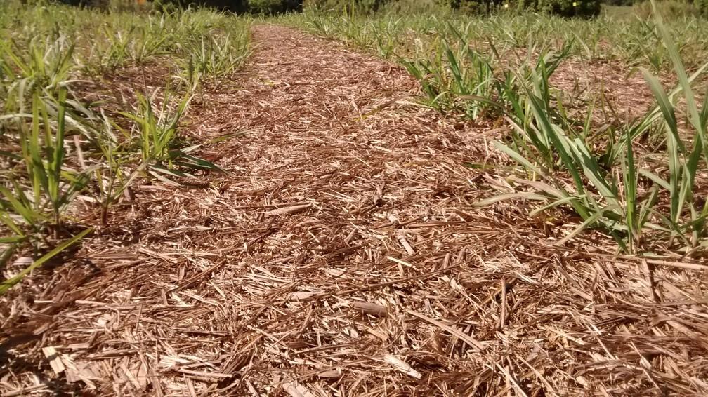Palha da cana-de-açúcar é usada para fazer etanol e energia — Foto: Maurício Cherubin/Arquivo pessoal