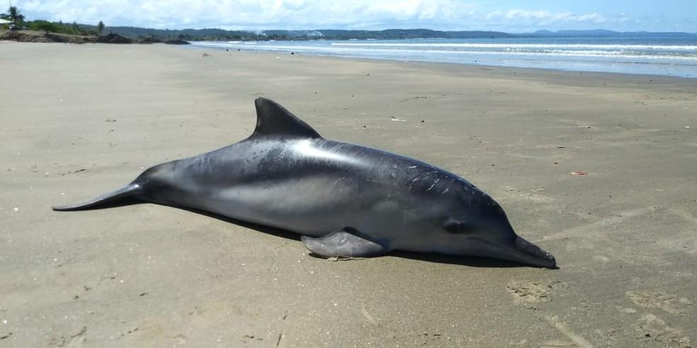 Boto-cinza é encontrado morto em praia de Ilhéus, no sul da Bahia — Foto: Projeto (A)mar