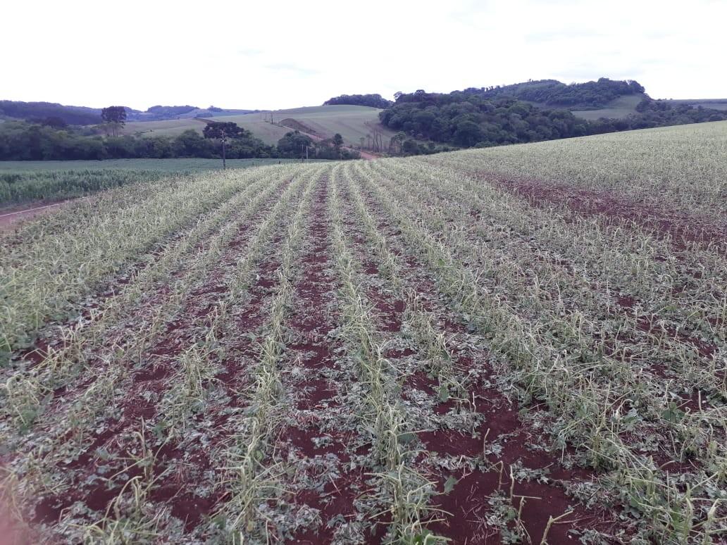 Granizo atinge plantações de soja, fumo e milho no Oeste catarinense - Notícias - Plantão Diário