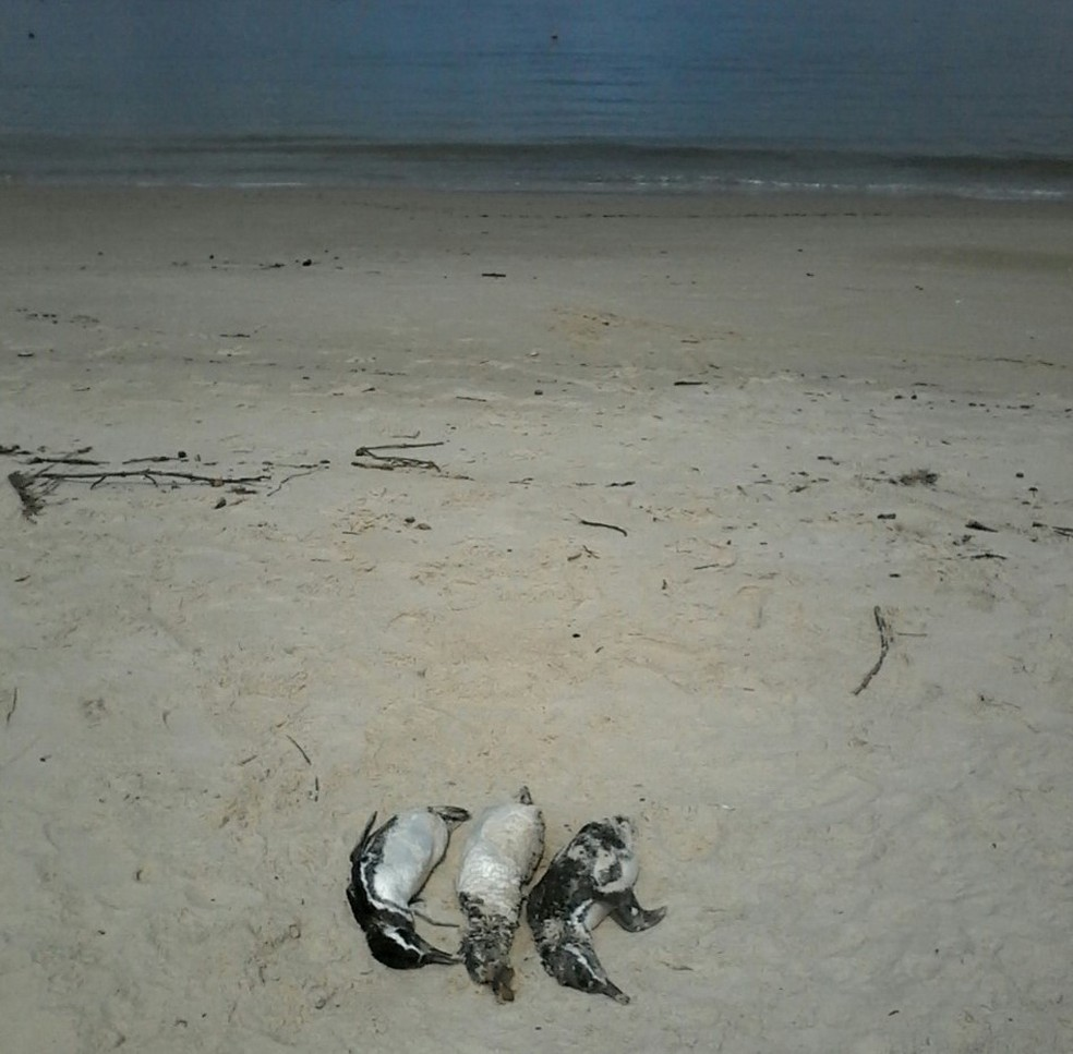 Penguins were found on the sands of Bombinhas beach - Photo: PMP-BS / Divulgação