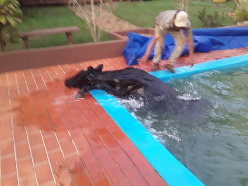 Boi conseguiu sair sozinho da piscina na chácara em Salto Grande  — Foto: Ana Gozzo / Arquivo pessoal