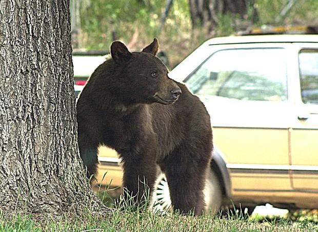 Os ursos aparecem em busca de alimentos (Foto: Divulgação/ Colorado Parks and Wildlife)
