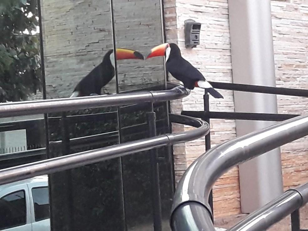 A ave entende o reflexo como outro indivíduo  (Foto: Carlos Moraes/VC no TG)