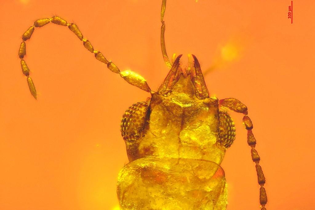 Estudo indica que o besouro faz o processo de polinização sem querer  (Foto: Chenyang Cai)