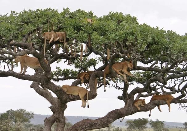Leões viralizam ao tirar cochilo em árvore (Foto: Reprodução )