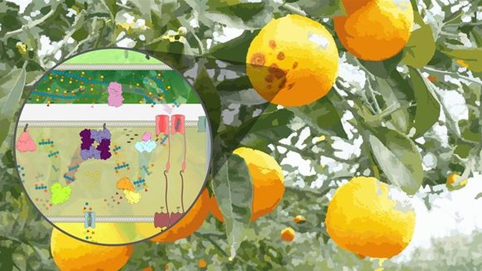 Ilustração destaca que estratégias usadas pela bactéria para atacar lavouras cítricas pode ser útil na produção de biorrenováveis — Foto: Arte/CNPEM