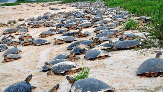 Milhares de tartarugas 'invadem' praias para desova em Costa Marques |  Rondônia | G1