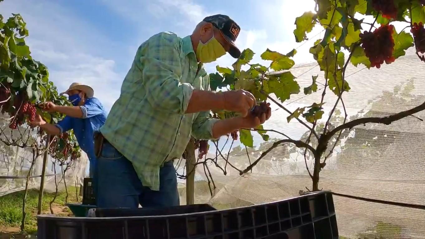 Produtores paulistas colhem safrinha da uva