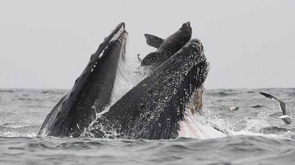 O fotógrafo garante que o leão-marinho saiu nadando depois de ter ido parar na boca da baleia — Foto: Chase Dekker