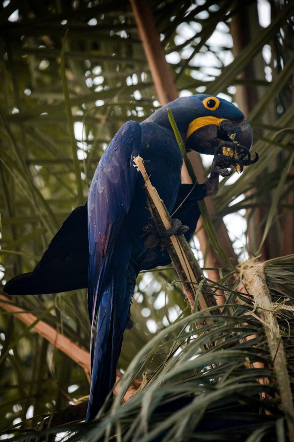 Arara-azul encontrada em pousada da região. Fazenda que tinha grande concentração da espécie no Pantanal foi duramente afetada pelo fogo. — Foto: Frico Guimarães/Documenta Pantanal/BBC