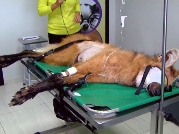 Fêmea de lobo-guará atropelada recebe tratamento em Passos, MG (Fot Reprodução EPTV / Luciano Tolentino)
