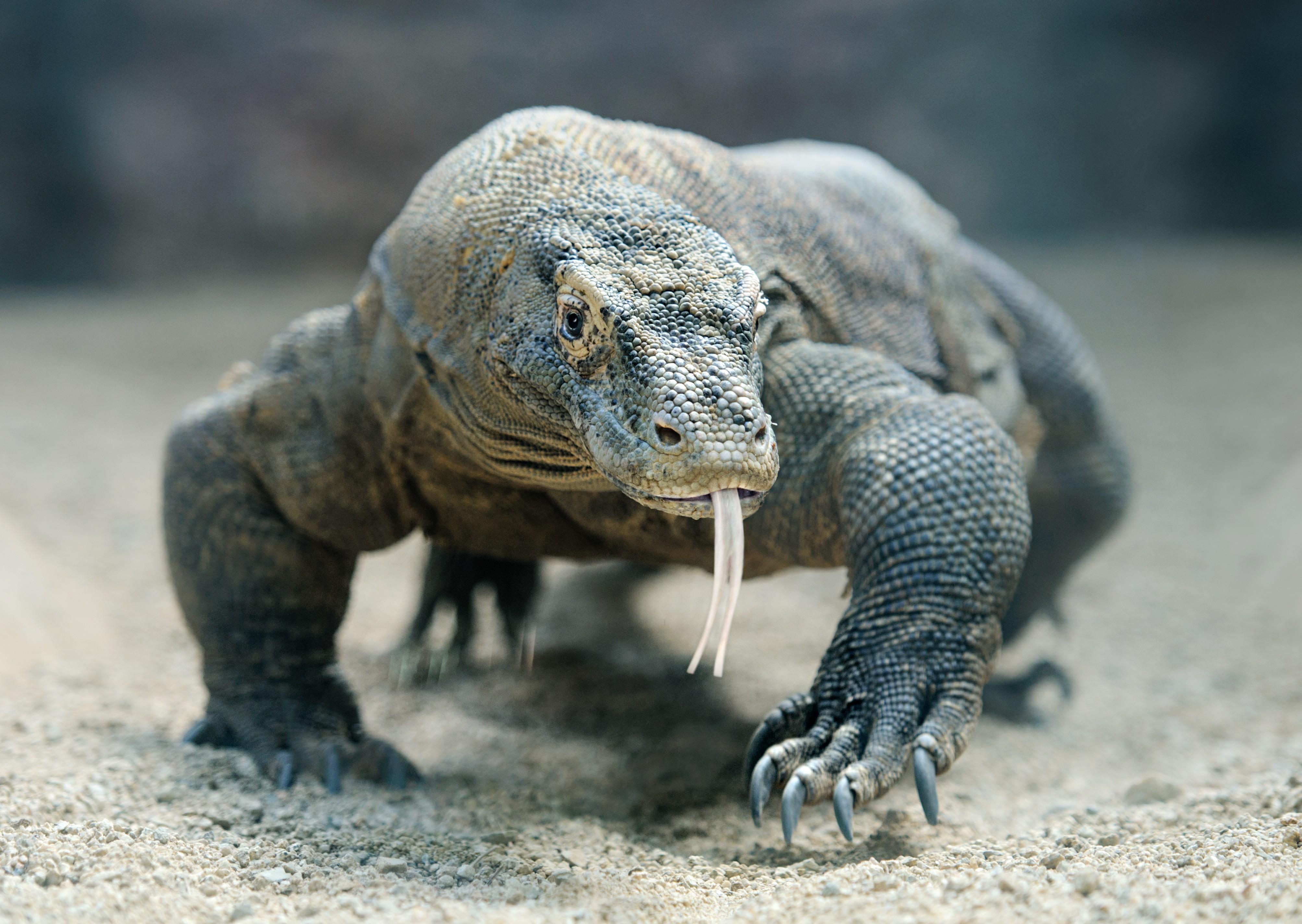 Dragão de Komodo  (Foto: Getty Images)