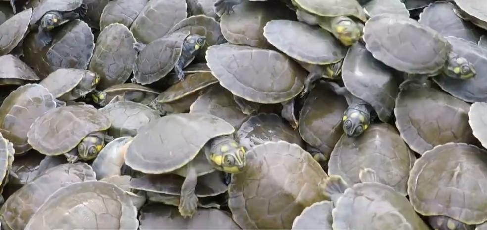 Projeto em Rondônia protege filhotes de tartarugas e tracajás contra predadores naturais e contra ação do homem — Foto: Reprodução/Rede Amazônica