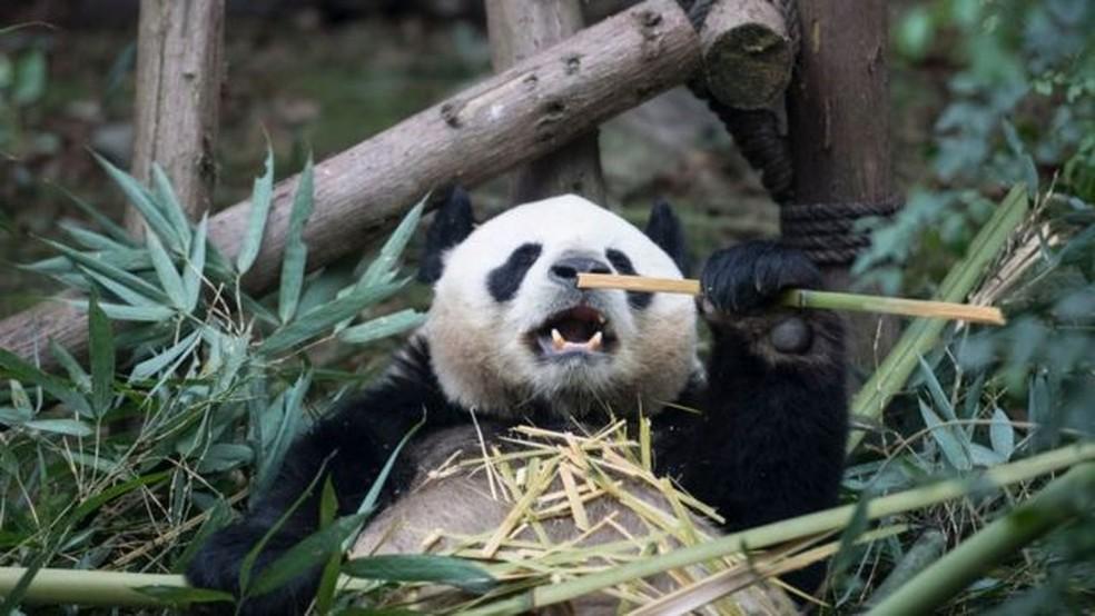 Os esforços chineses para recriar e repovoar florestas de bambu ajudaram a salvar os pandas gigantes da extinção — Foto: Getty Images via BBC