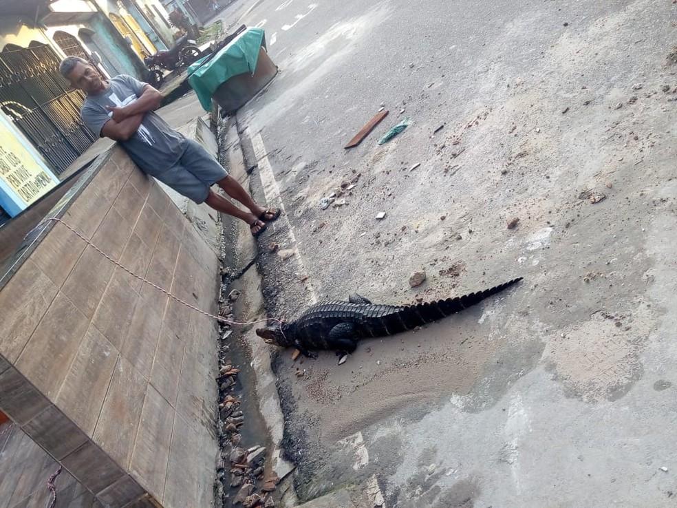 Jacaré encontrado em rua de Belém é amarrado em coleira por populares — Foto: Reprodução/ TV Liberal