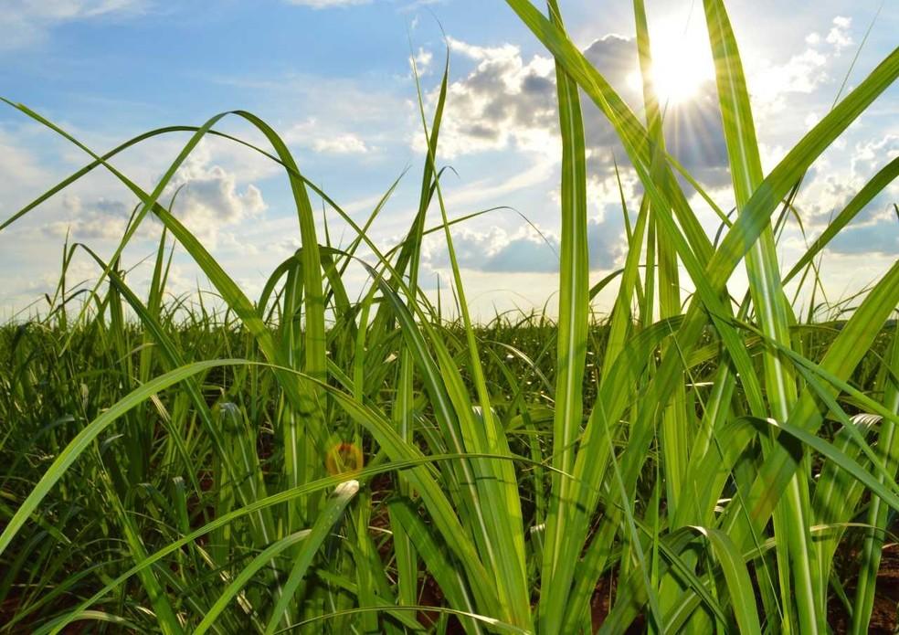 Usinas de MS já moeram na safra 2019/2020, 44 milhões de toneladas de cana-de-açúcar, de acordo com a Biosul — Foto: Anderson Viegas/G1 MS