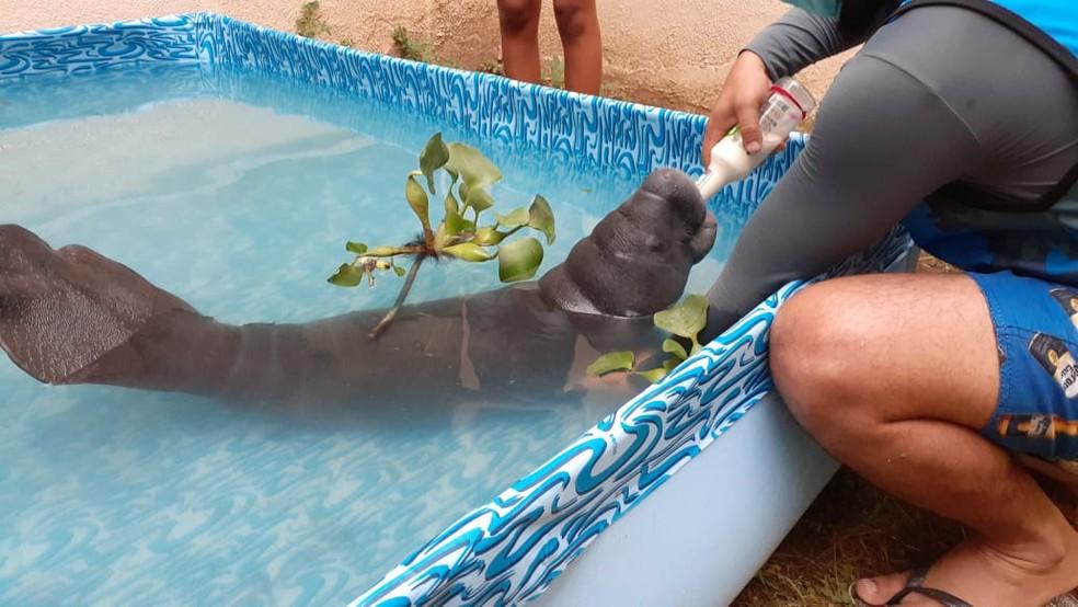 'Gigi' recebe cuidados no Pará — Foto: Olivaldo Sarges/SEA