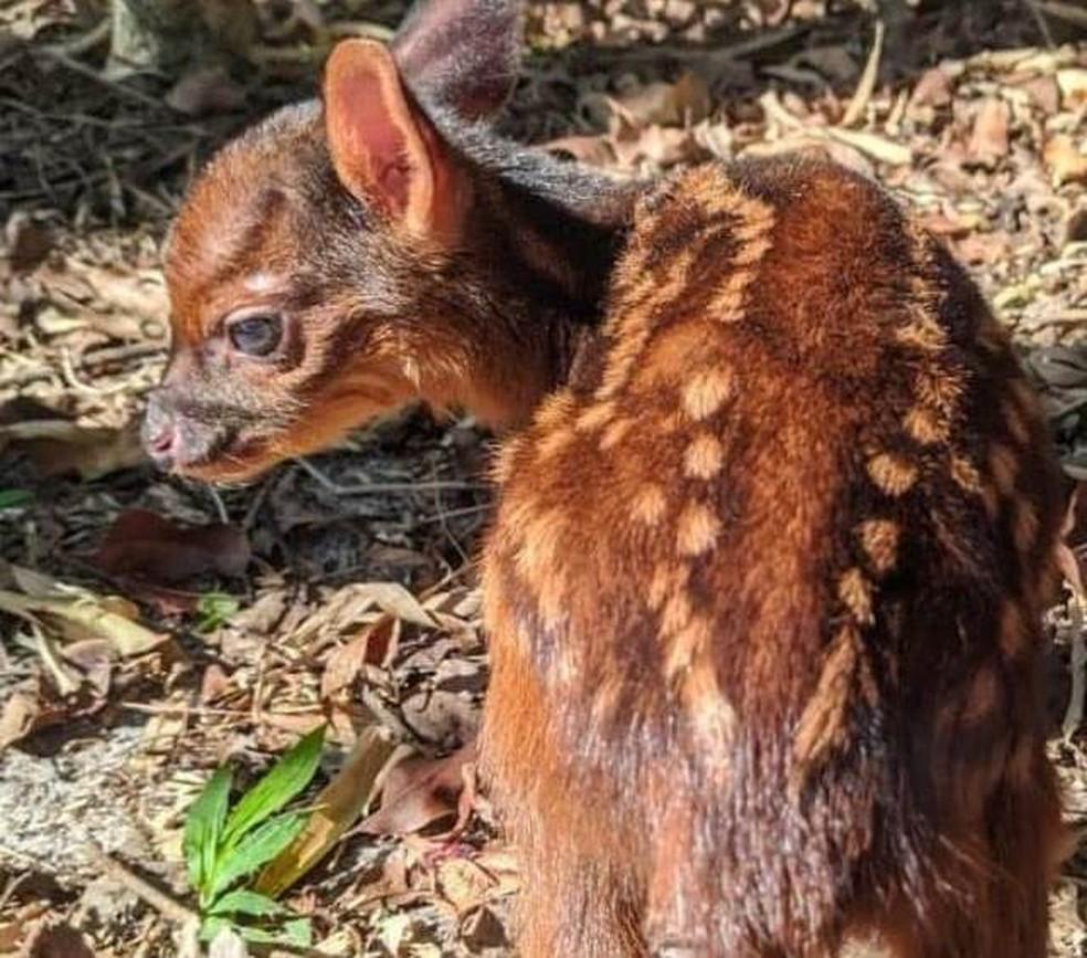 Resgate de veado-mão-curta veado no Oeste catarinense — Foto: Instituto Espaço Silvestre/ Reprodução