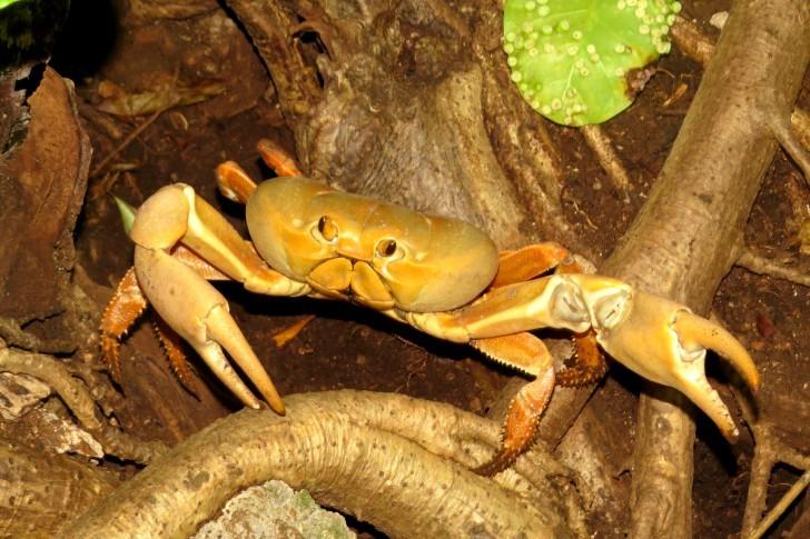 Os Caranguejos de Fernando de Noronha estão em período reprodutivo, a captura pode gerar multa pesada