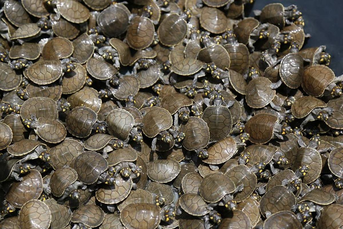 Projeto de preservação devolve mais de mil quelônios ao Rio Juruá
