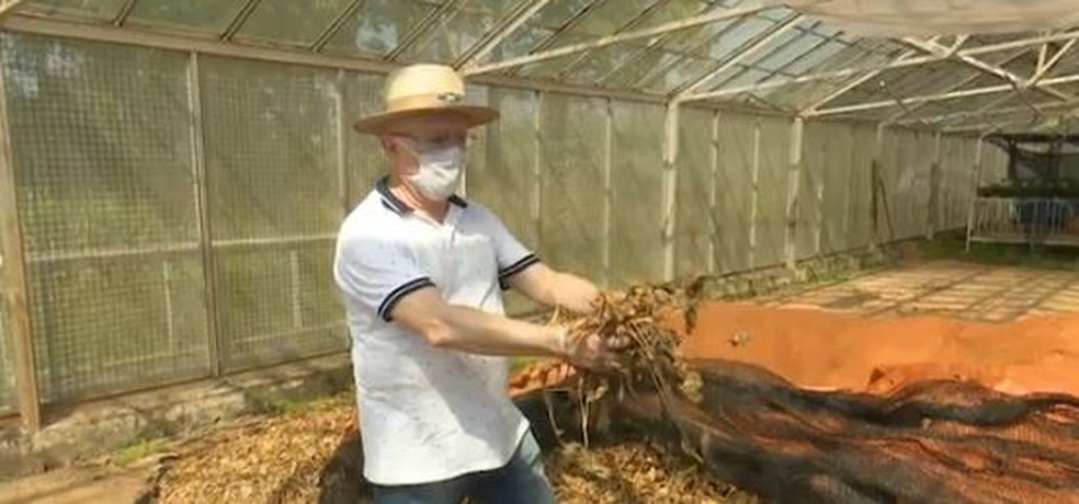 Folhas passam por um processo de secagem antes de serem usadas para a fabricação do óleo orgânico  — Foto: Reprodução/Rede Amazônica Acre