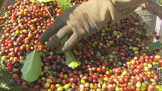 Mais de 80% das cidades do Sul de Minas contam com lavouras de café para impulsionar economia