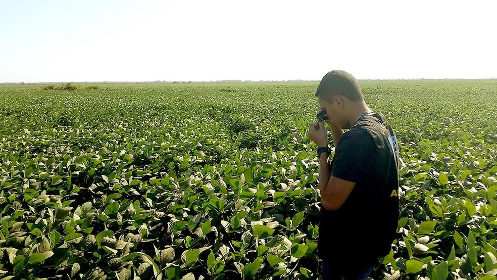 Plantação terá que ser destruída em Santa Rita do Tocantins (Foto: Adapec/Divulgação)