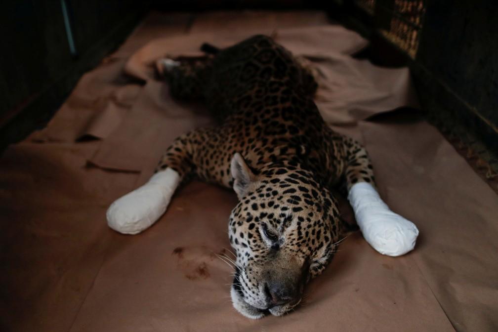 Macho adulto chamado Ousado descansa depois de receber tratamento de queimaduras nas patas, na ONG Instituto Nex, em Corumbá de Goiás — Foto: Ueslei Marcelino/Reuters