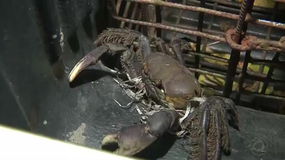 Mais de 2 mil caranguejos foram apreendidos em Camalaú, Cabedelo (Foto: Reprodução/TV Cabo Branco)