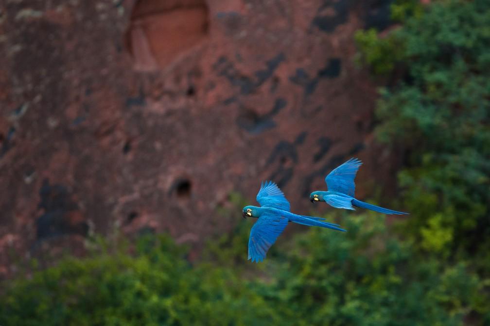 Casal de arara-de-lear: diversos animais correm risco de extinção — Foto: Marcelo Brandt/G1