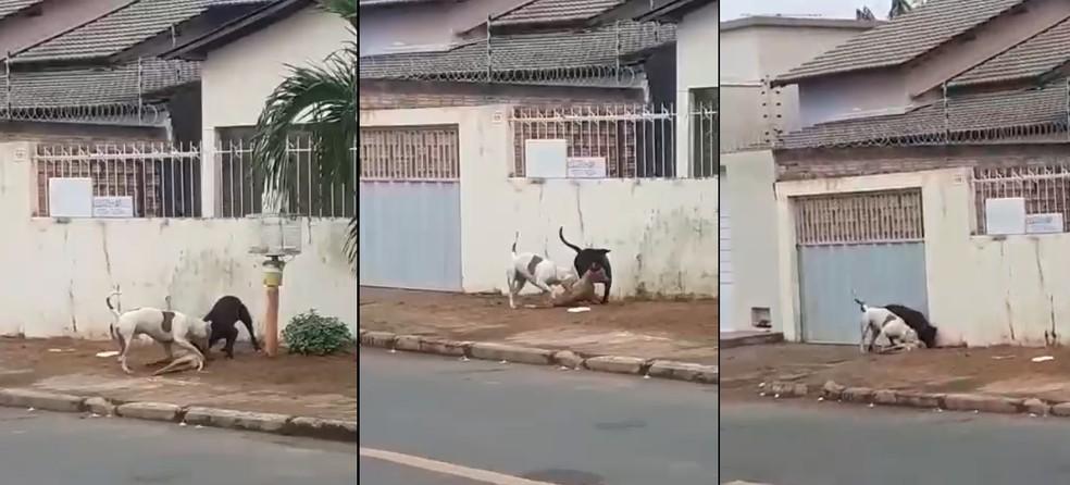 Vídeo mostra pit bulls soltos atacam cachorro no bairro Centenário — Foto: Arquivo Pessoal