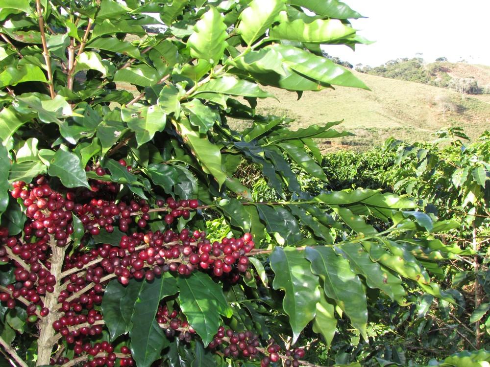 Colheita do café em Varre-Sai, maior produtor do RJ, movimenta a economia da cidade