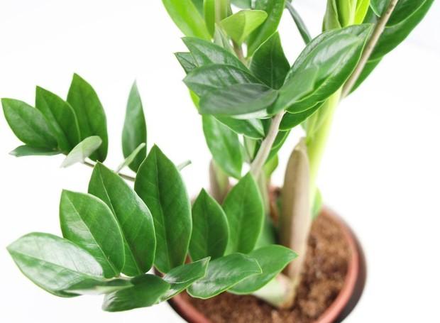 Zamioculcas no vaso (Foto: Reprodução/ Plantopedia)