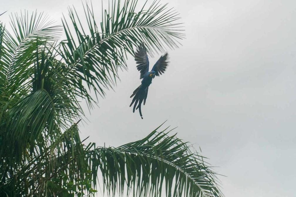 Arara azul em Porto Jofre: além das onças, observação de pássaros também atrai turistas à região do Pantanal matogrossense — Foto: Eduardo Palacio/G1