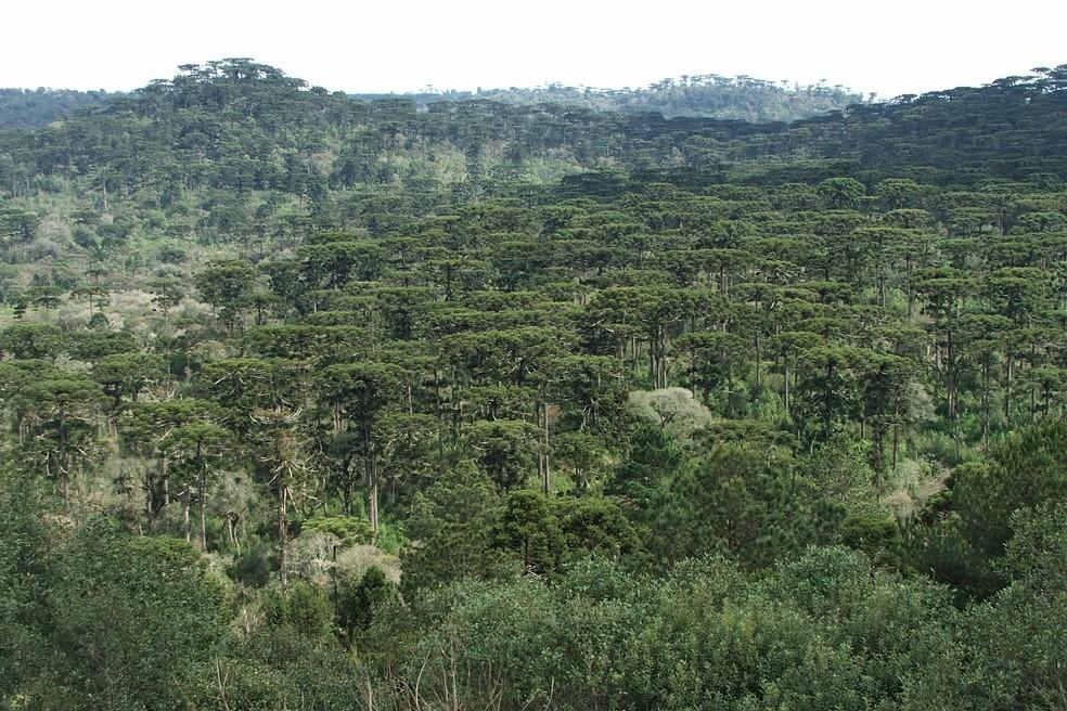 Espécie foi avistada em região onde se predomina a Floresta Ombrófila Mista no Paraná — Foto: Raphael Santos/ Arquivo Pessoal