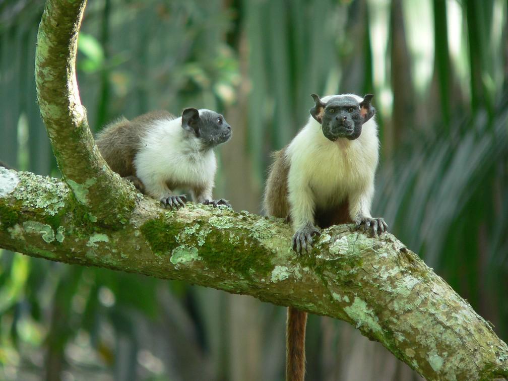 O sauim-de-coleira (Saguinus bicolor), que era frequente na região de Manaus, está na categoria de maior risco. Plano tenta salvá-lo da extinção   (Foto: Robson Czaban/ICMBio)