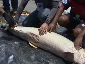 Peixes são criados em tanques de até 400 metros quadrados (Foto: Reprodução/TV Amapá)