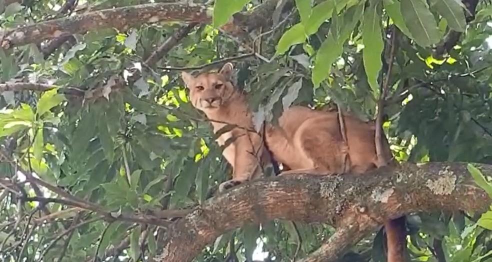 Animal subiu na árvore de cerca de 6 metros de altura  — Foto: Alcyr Netto/ TV TEM
