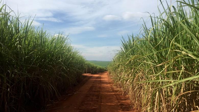 Plantação de cana-de-açúcar em Ribeirão Preto (SP), no cinturão de produção de açúcar do país (Foto: Marcelo Teixeira/Reuters)