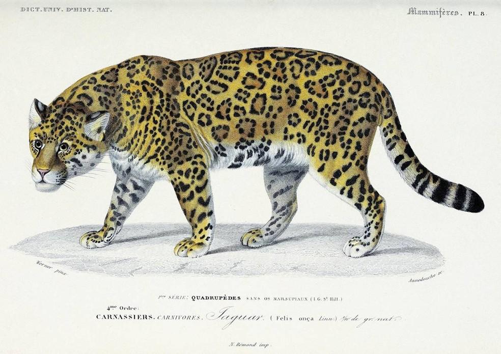 Gravura em metal faz parte de uma das maiores enciclopédias de história natural já produzidas, tendo sido publicadas em 16 volumes entre 1841 e 1849. — Foto: Werner/Arquivo Pessoal