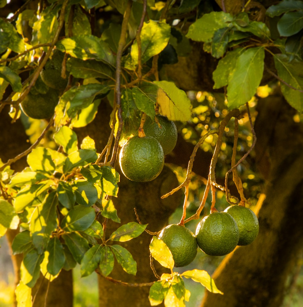 Pé de abacate na Fazenda Santa Cecília, no Oeste Paulisa — Foto: Arquivo/ Fazenda Santa Cecília