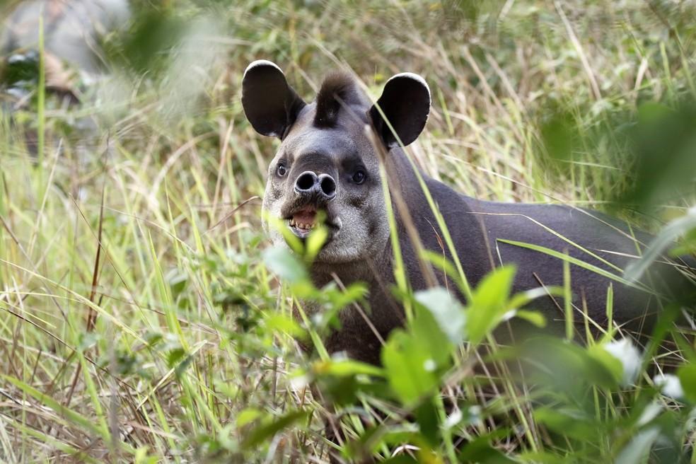 A anta é o maior mamífero herbívoro do Brasil  — Foto: Jeanne Martins/VC no TG