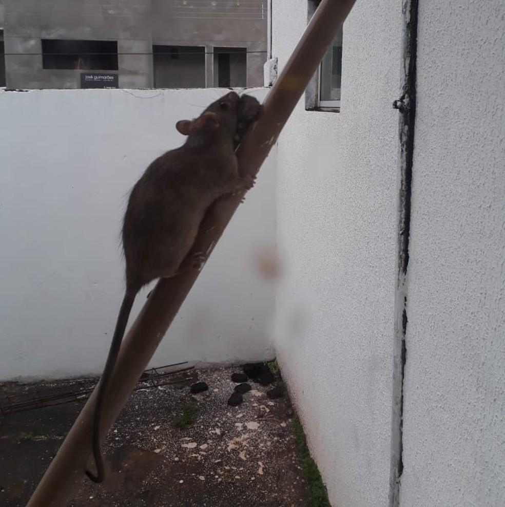 Rato adulto carregava filhote na boca — Foto: Divulgação