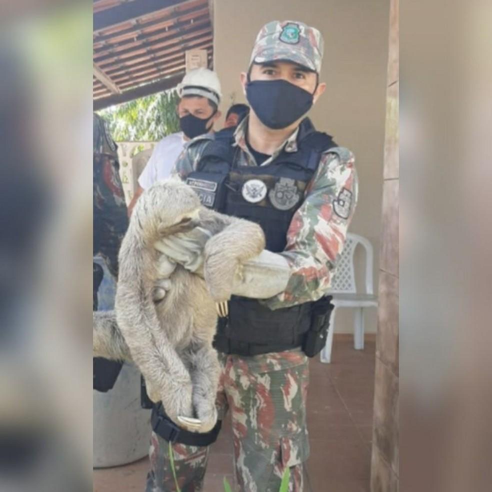 Bicho-preguiça foi resgatado depois de chegar sozinho a casa em Eusébio, na Grande Fortaleza. — Foto: Divulgação/PM CE