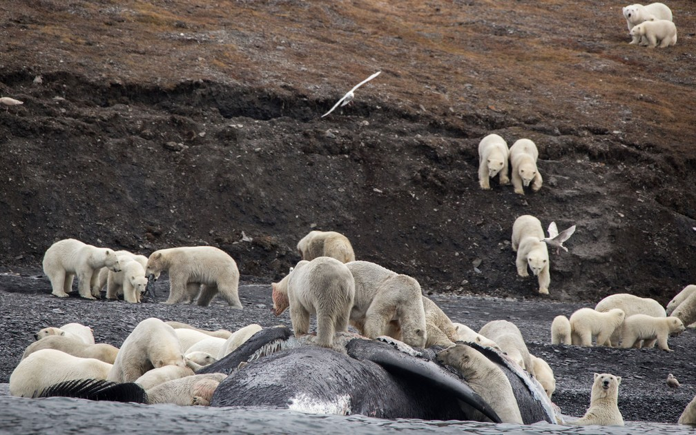 Foto de 19 de setembro mostra grupo de ursos polares se alimentando de uma baleia na costa da ilha russa de Wrangel (Foto: Max Stephenson/Family Handout/AFP)